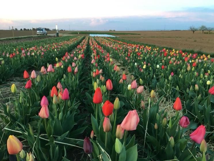 Tulipes Offenheim